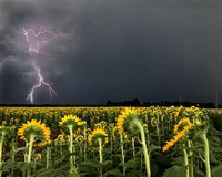 Lightening is the stage for the sunflowers
