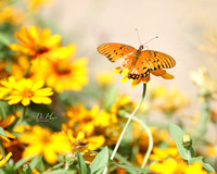 butterfly in orange flowers_9792