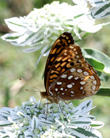 brown butterfly_0199
